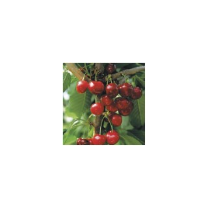 Cerisier Bigarreau Cœur De Pigeon forme 1/2 tige 45139