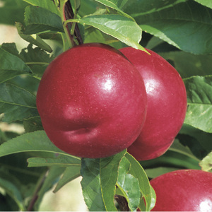 Nectarinier Nectared 6 ® forme 1/2 tige 45148