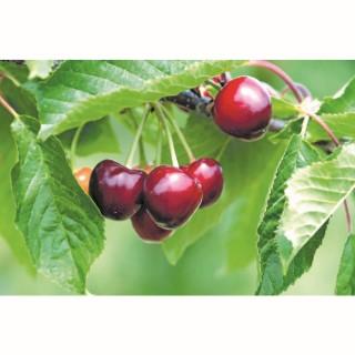 Cerisier nain bio pot 10 L 45176