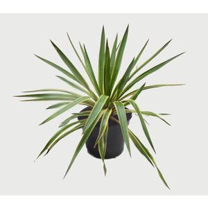 Yucca Gloriosa Variegata (Dague espagnol) en pot de 5 L jaune 452723