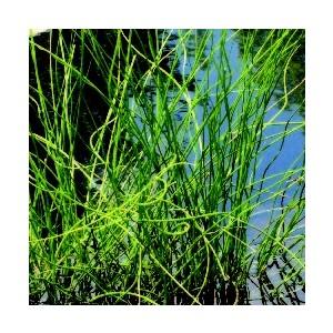 Juncus Effusus Spiralis. Le pot de 10,5 cm 453022