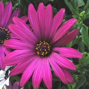 Osteospermum Caulescens. Le pot de 9x9 cm 453227