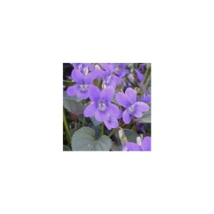 Viola labradorica bleue en pot de 1 L 46022