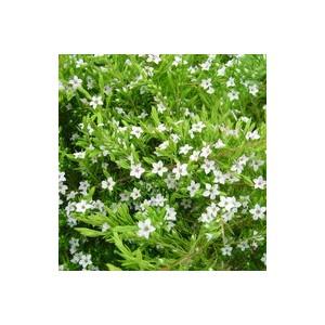 Diosma blanc en pot déco de 2 L 461862