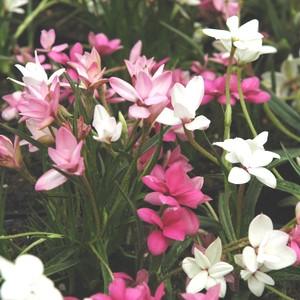 Rhodohypoxis rose en pot de 1 L 634441