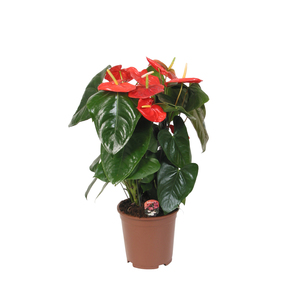 Anthurium en pot Ø 17 cm 953675