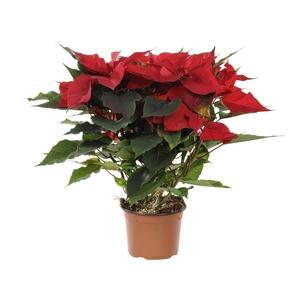 Poinsettia pailleté rouge en pot Ø 13 à 14 cm 467230