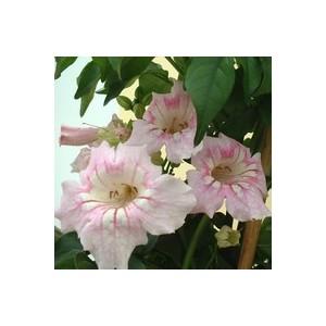 Podranea ricasolina rose en pot de 3 L 453206