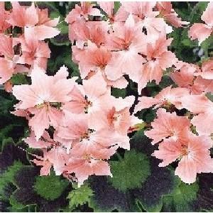 Géranium zonale à fleurs étoilées. Le pot de 1 litre 956036
