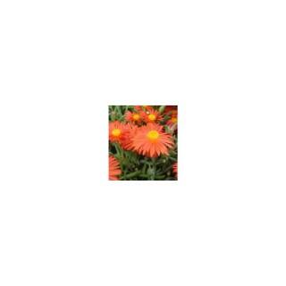 Ficoide Lampranthus Roseus. Le pot de 9x9 cm 629191