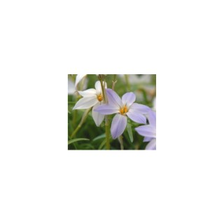 Ipheion Uniflorum. La coupe de 25 cm 128661