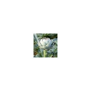 Artichaut Violet De Provence. Le pot de 10,5 cm 41508