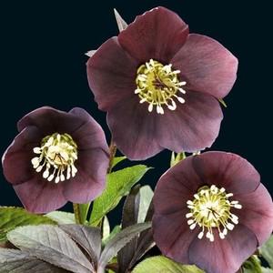Helleborus Orientalis Noire. Le pot de 1 litre 477448