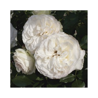 rosier grimpant palais royal le pot de 3 litres rosiers jardin botanic. Black Bedroom Furniture Sets. Home Design Ideas