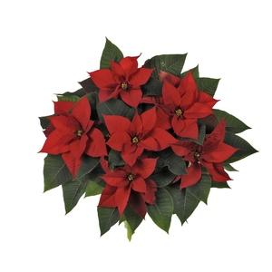Poinsettia rouge la coupe Ø 27 cm 482380