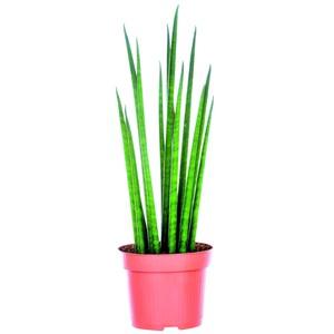 Sanseveira en pot de 12 cm 483205