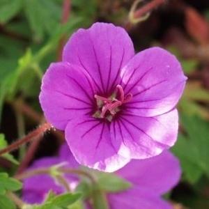 Geranium Dilys. Le pot de 1 litre 48387