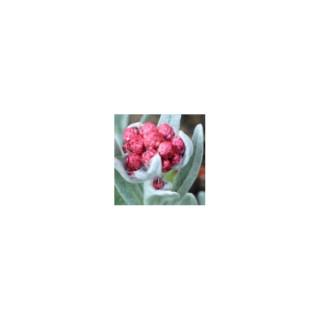 Helichrysum Amorginum. Le pot de 2 litres 48471