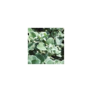 Helychrysum Microphyllum. Le pot de 9x9 cm 48787