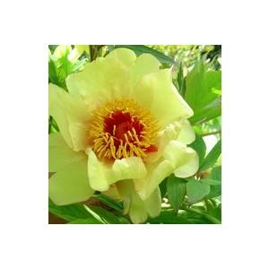 Paeonia Suffruticosa – Pot de 6L 488957