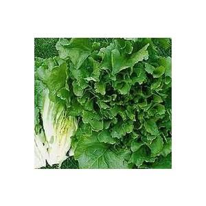 Chicorée Frisée. La barquette de 12 plants 110653