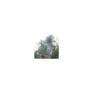 Yucca Rostrata 80/100 cm en pot de 30 L 490659