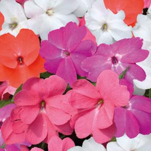 Hibiscus. Le pot de Ø 12 cm 491809