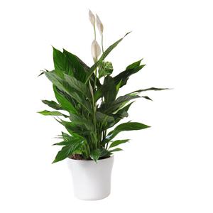 Spathiphyllum cupido + cache-pot 493281