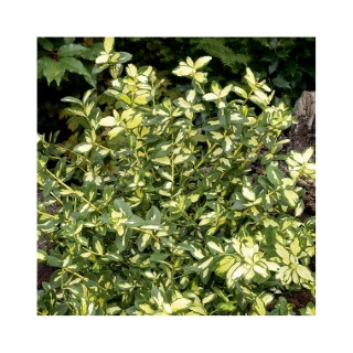 Euonymus Fort. Blondy 49585