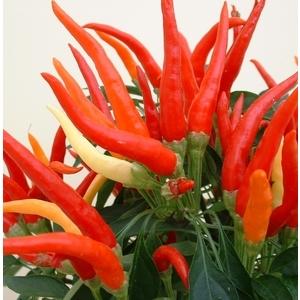 Piment décoratif multicolore en pot de 10,5 cm Ø 9-12 790966