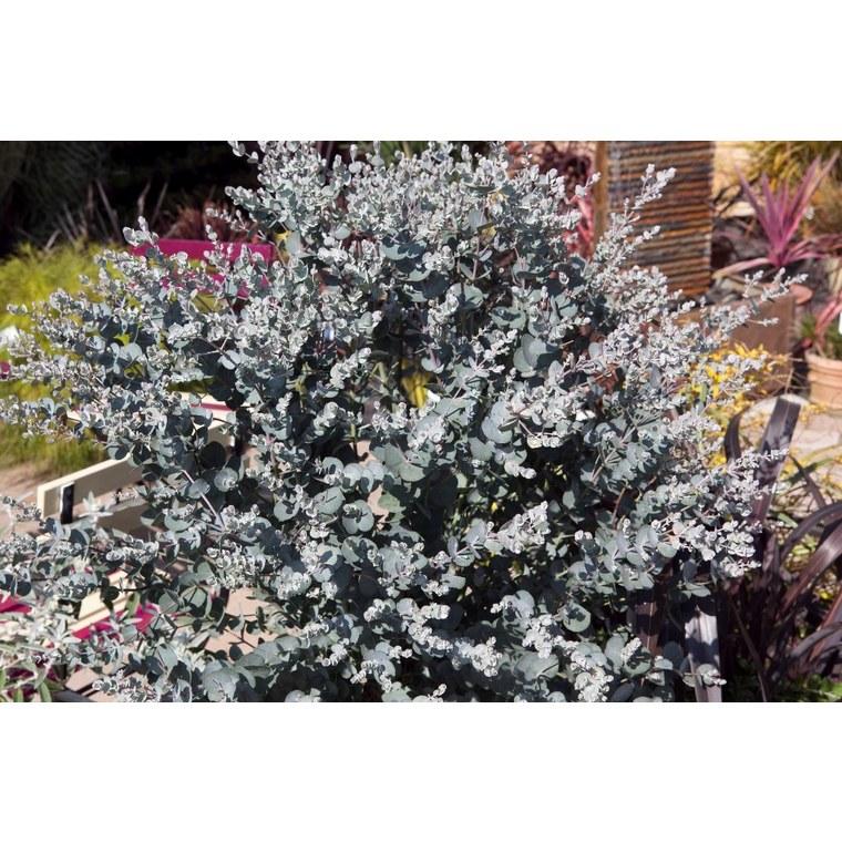 Eucalyptus Gunnii Silverana bleu en pot de 4 L 401040