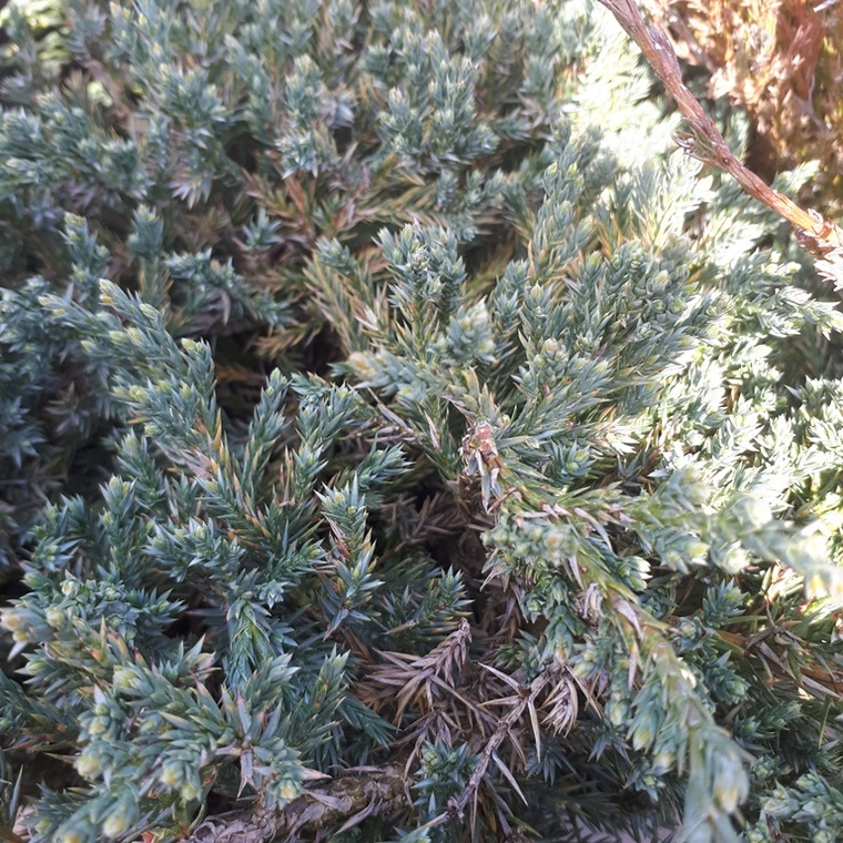Juniperus Squamata Blue Carpet bleu en pot de 7,5 L 401327