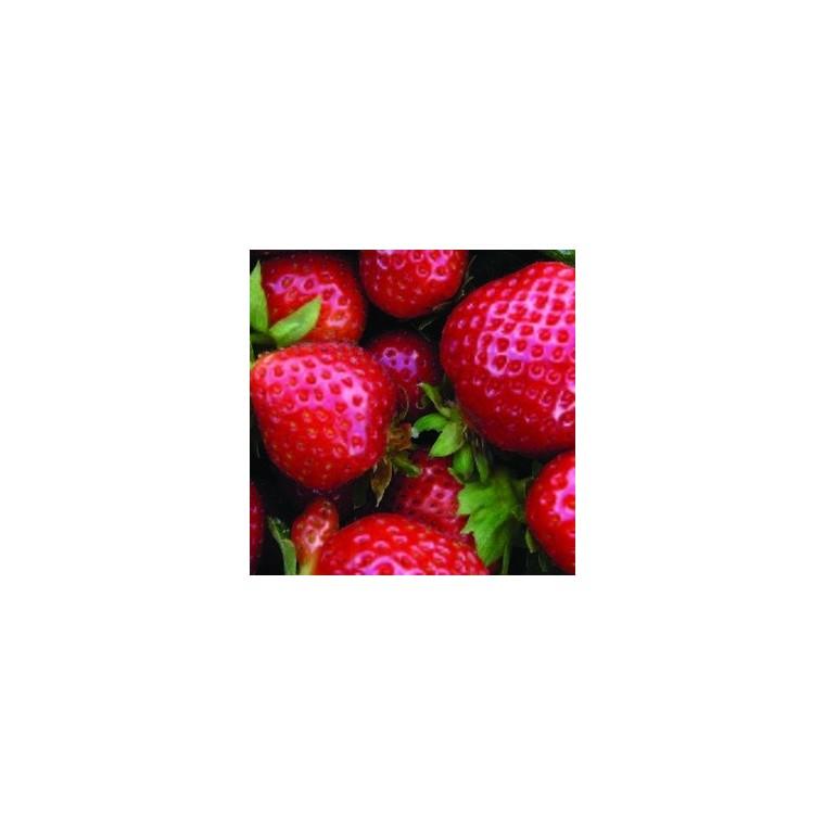 Fraisier Cijosée. La jardinière de 40 cm 402177