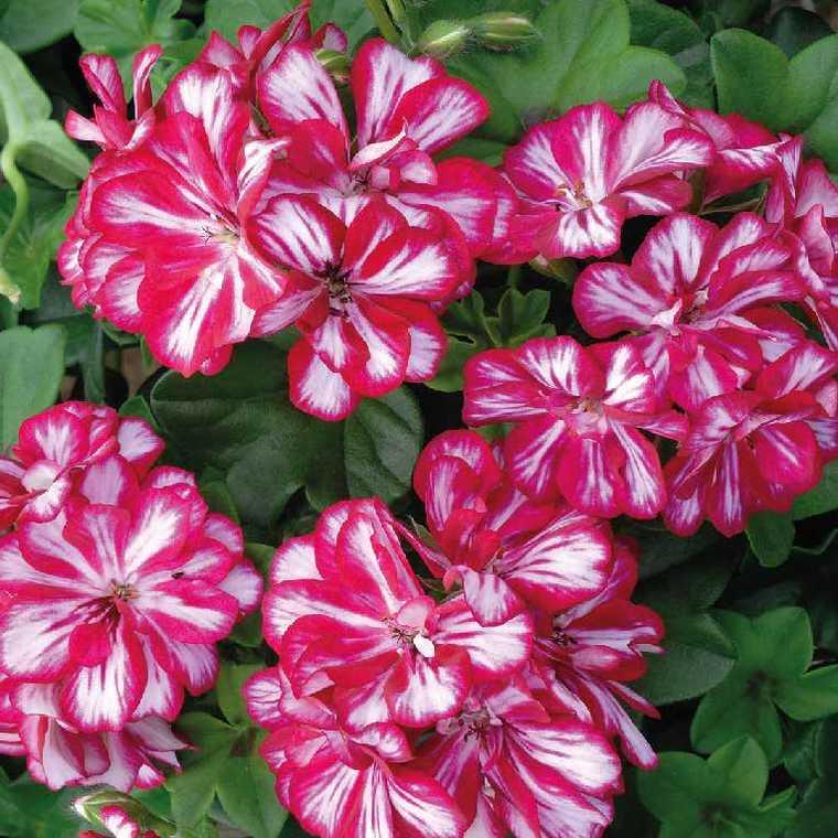 Géranium lierre double bicolore Le pot de 12 x 12 cm 402180