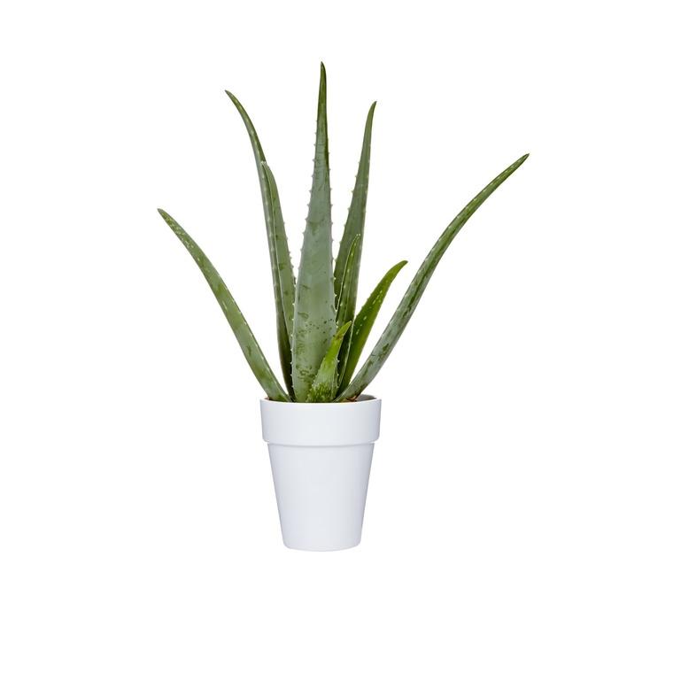 Aloe Vera en pot déco blanc Ø 15 cm 402383