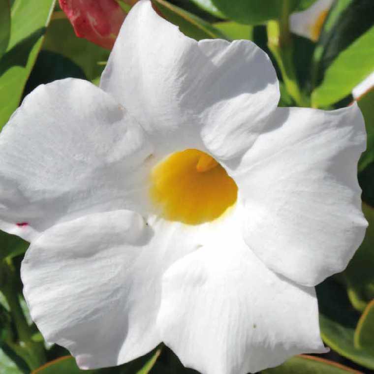Dipladenia sundaville grand white. Le pot de 9x9 cm 402408