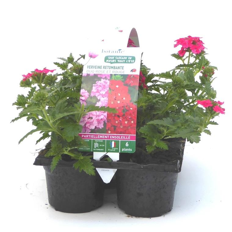 Verveine retombante rouge. Le pack de 6 plants 402564