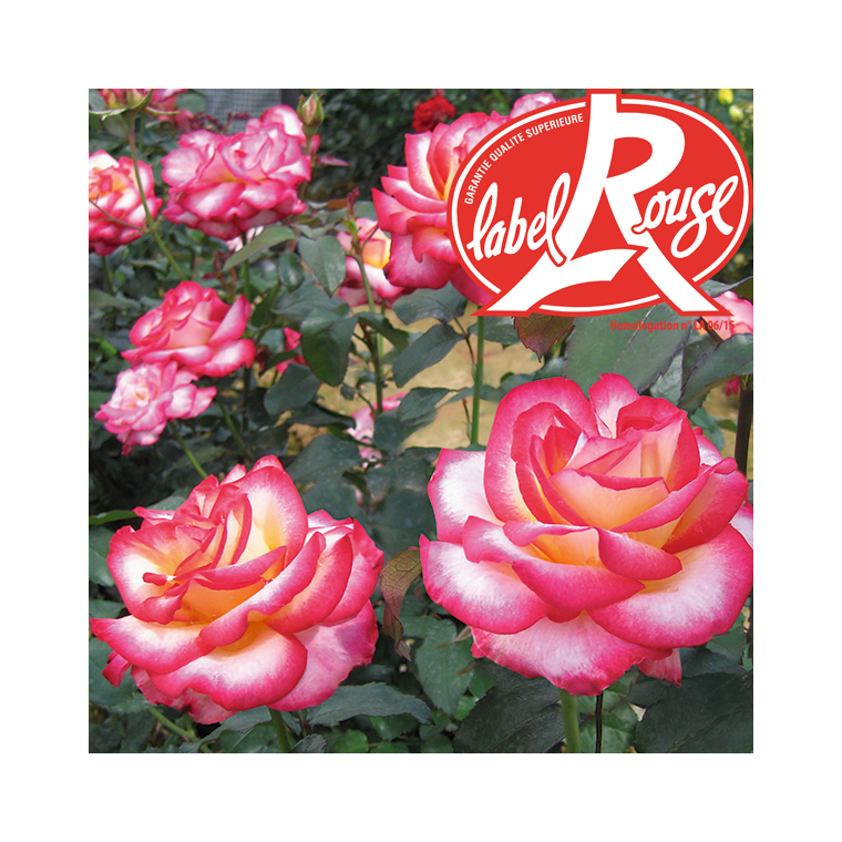 Rosier Léo Ferré® Label Rouge en pot de 5L 402798