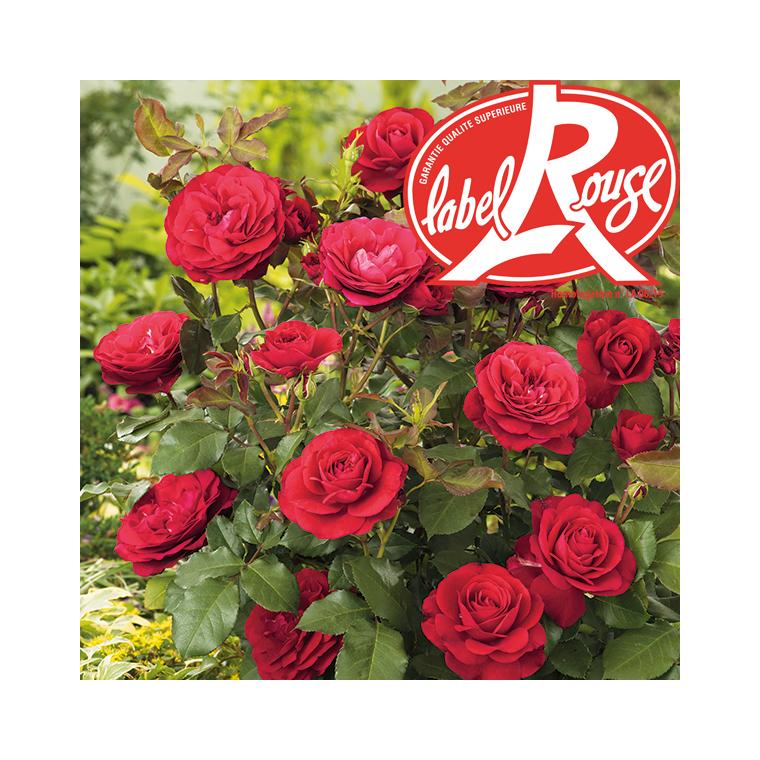 Rosier Mona Lisa® Label Rouge en pot de 5L 402803