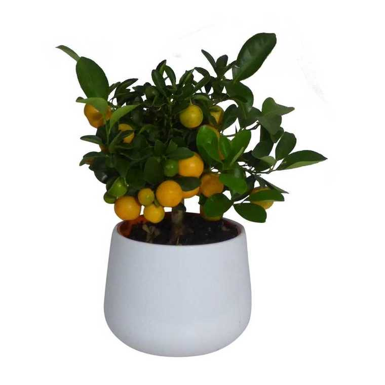 Calamondin Fruits – Pot de 2L 402990
