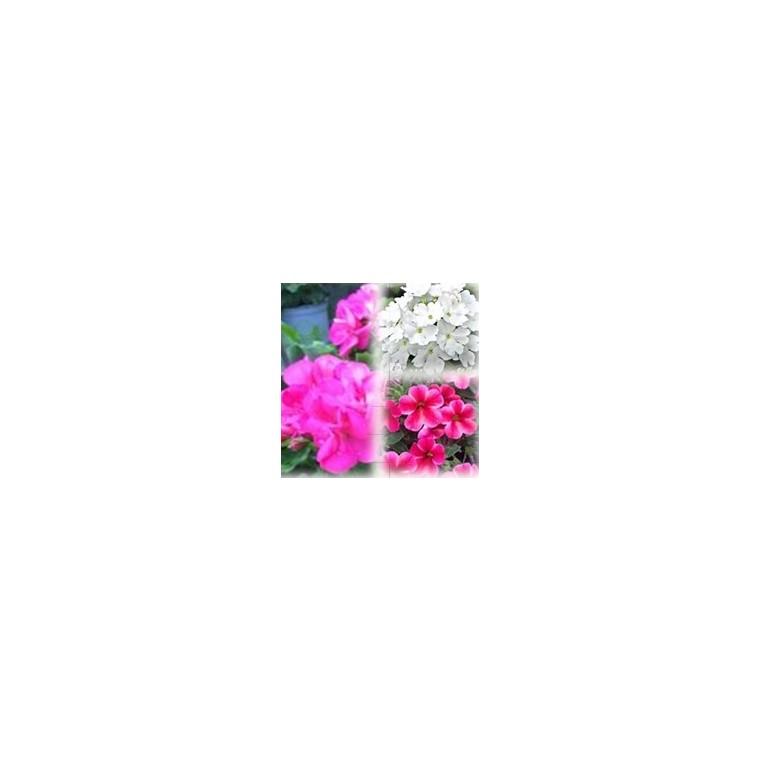 Mélange estival rose et blanc. Le pack de 6 plants 403011