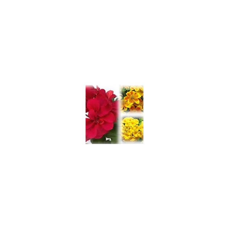 Mélange estival rouge et or. Le pack de 6 plants 403012