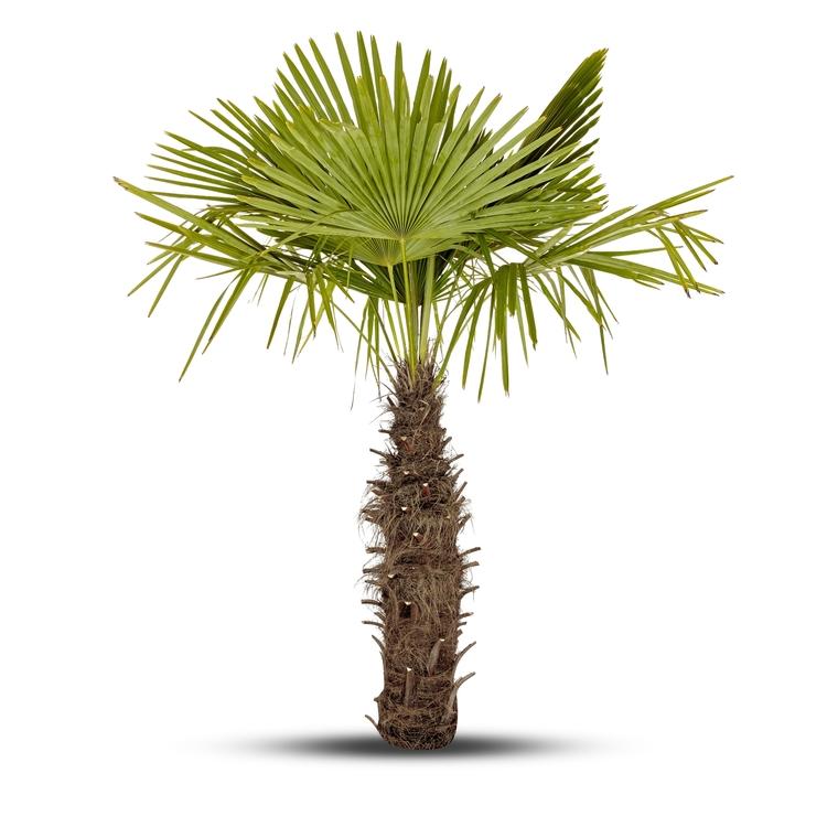 """Palmier """"Trachycarpus"""" 403148"""