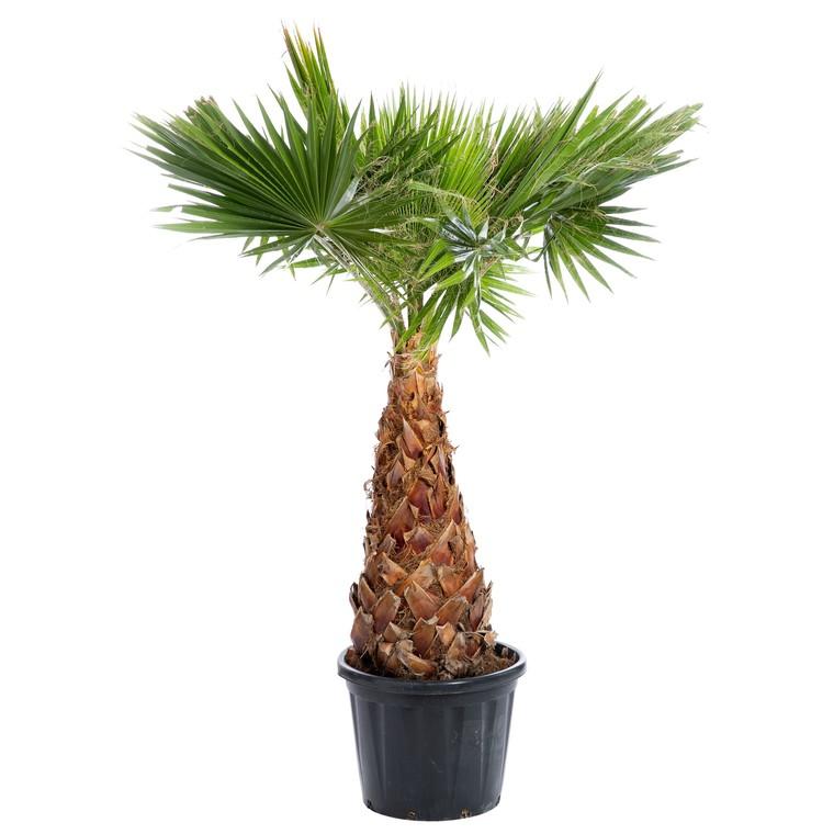 Palmier Washingtonia 80/100 cm en pot de 80 L 403154