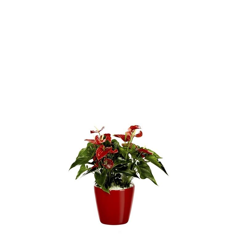 Anthurium et son pot Classico premium Ø 35 rouge 405280