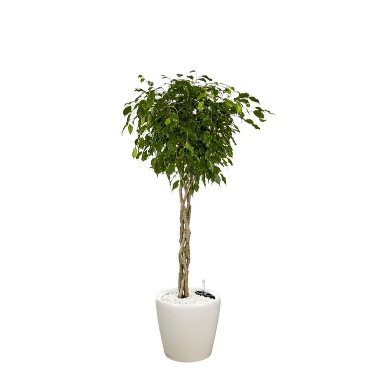 Ficus benjamina tronc tressé et son pot Classico premium Ø 35 blanc 405307