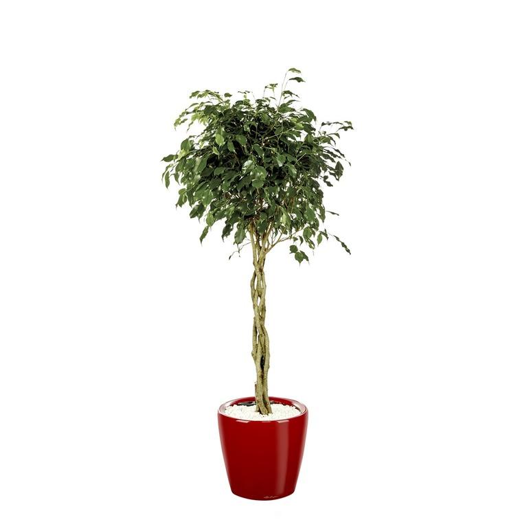 Ficus benjamina tronc tressé et son pot Classico premium Ø 35 rouge 405309