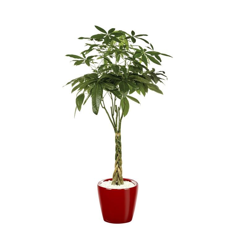 Pachira et son pot Classico premium Ø 35 rouge 405323