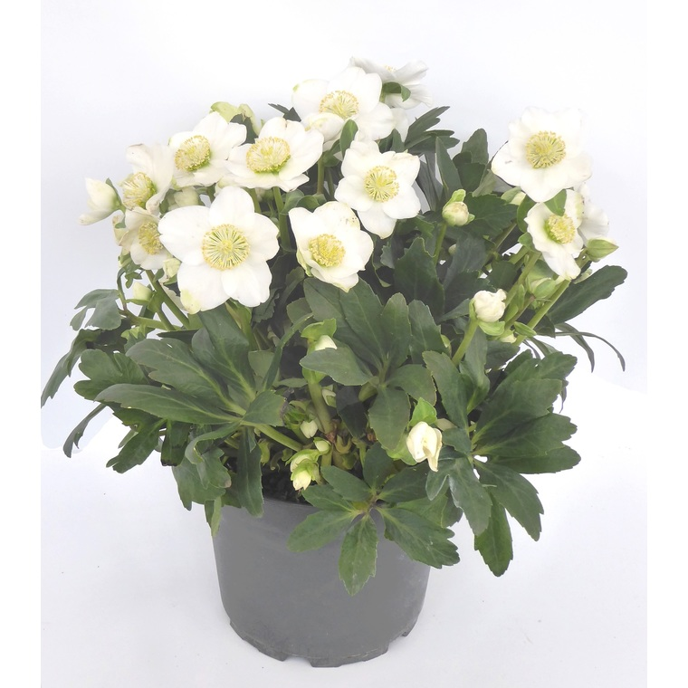 Hellébore fleurie. Le pot de 4 litres 405436