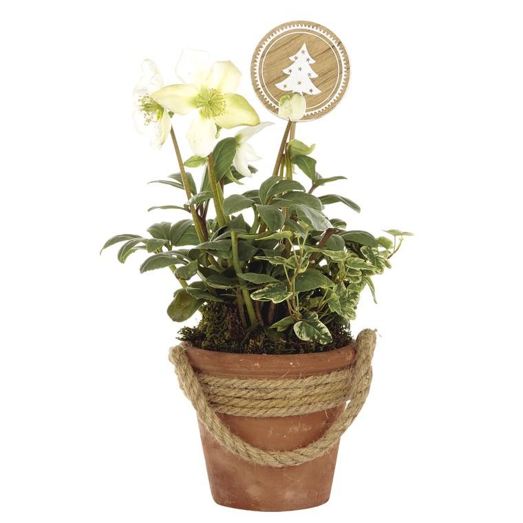 Rose de Noël  pot terre cordé. Le pot 405439